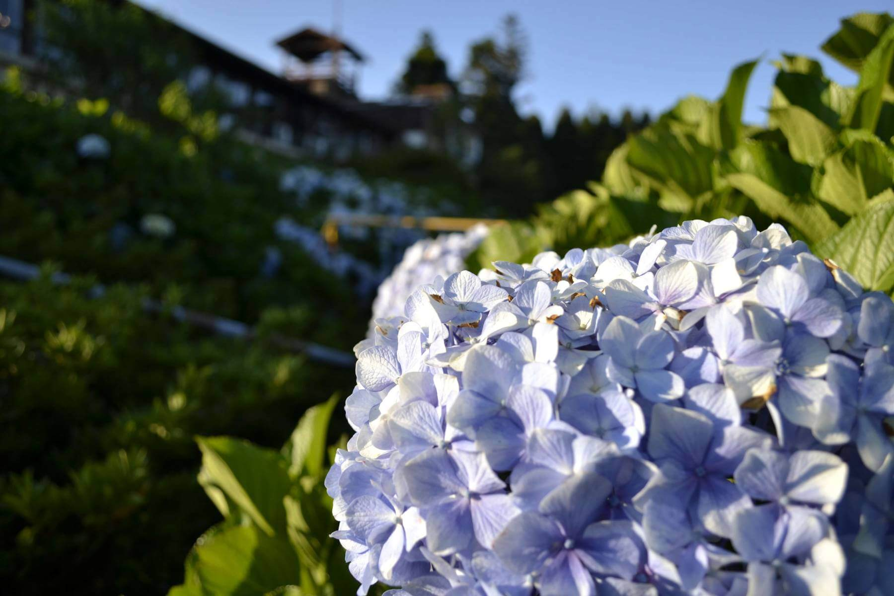 Hortensias Back Offers