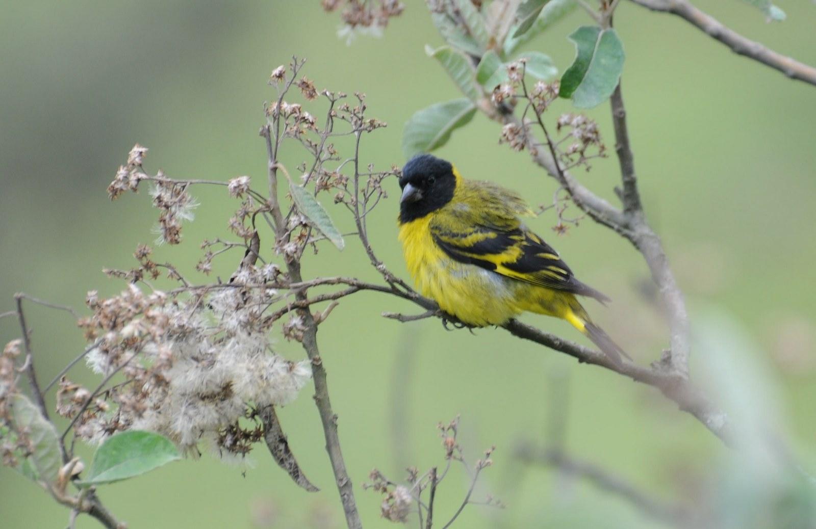 Animais - Pássaro - Pintassilgo - Sustentabilidade