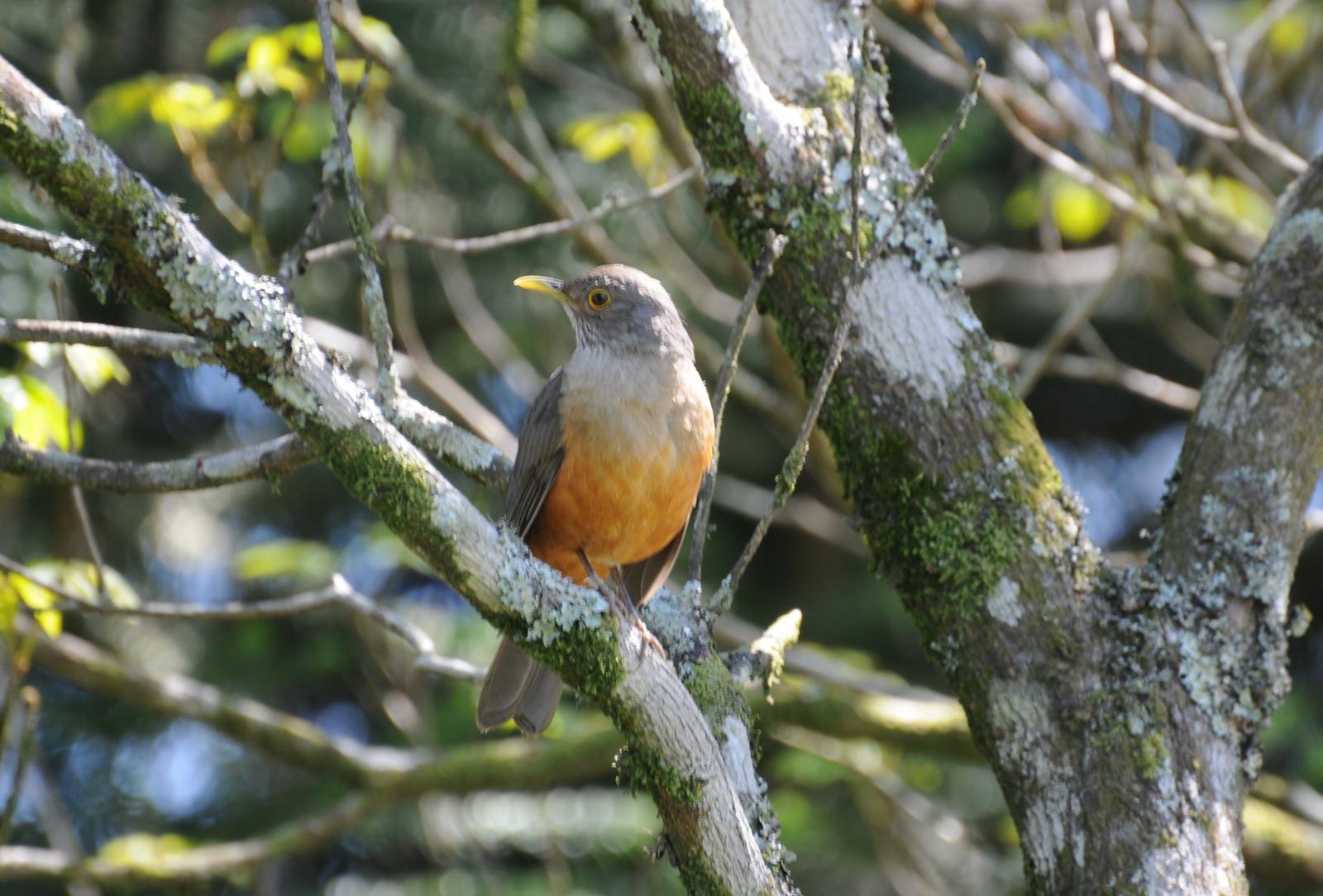 Animais - Pássaro - Sabiá-laranjeira - Sustentabilidade