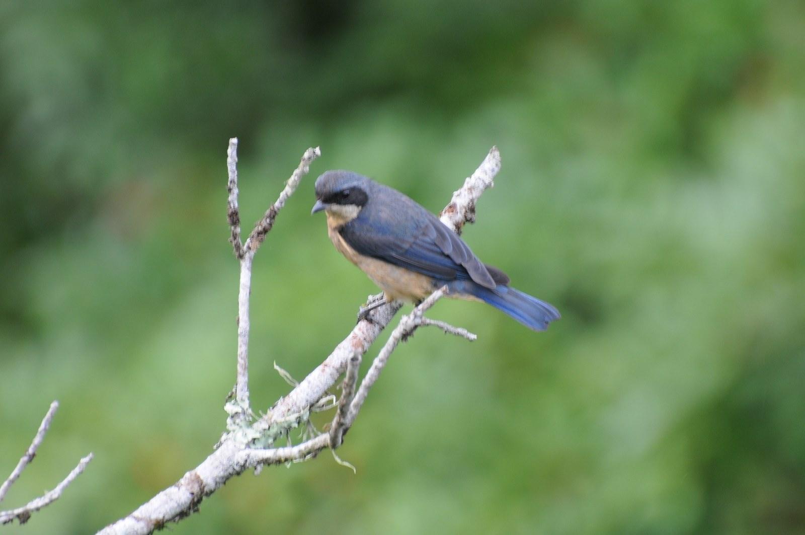 Animais - Pássaro - Saira Viuva - Sustentabilidade