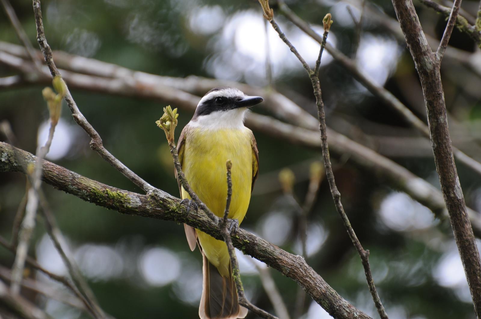 Animais - Pássaro - Bemtevi - Sustentabilidade