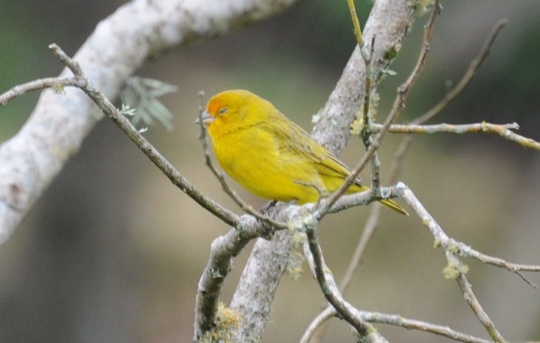 Animais - Pássaro - Canario da Terra - Sustentabilidade