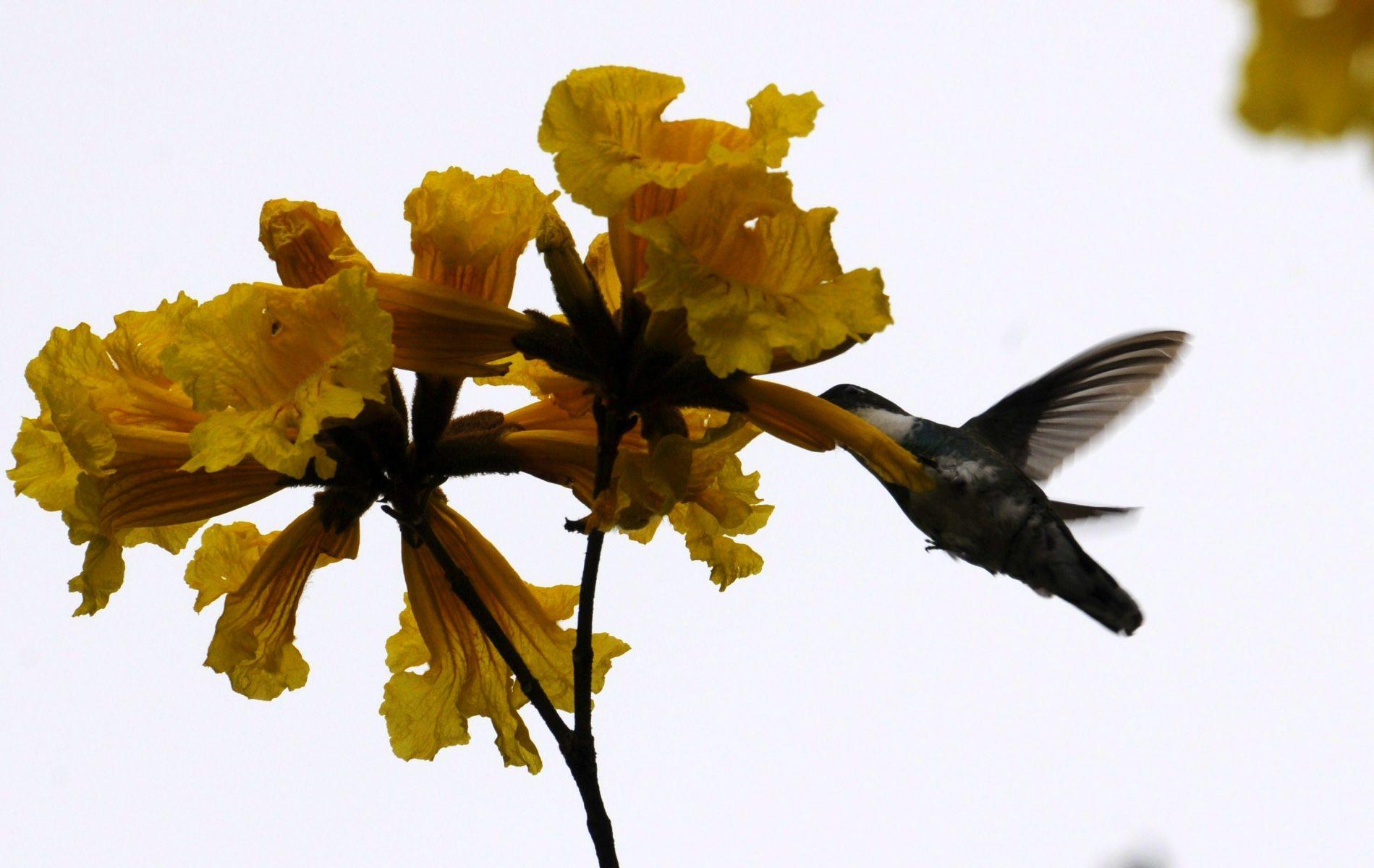 Passaros - Beija Flor na Flor do Ipê Amarelo