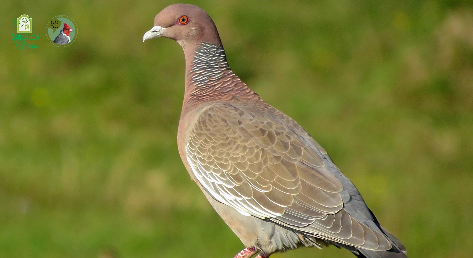 Birdwatching em Gramado com Raphael Kurz